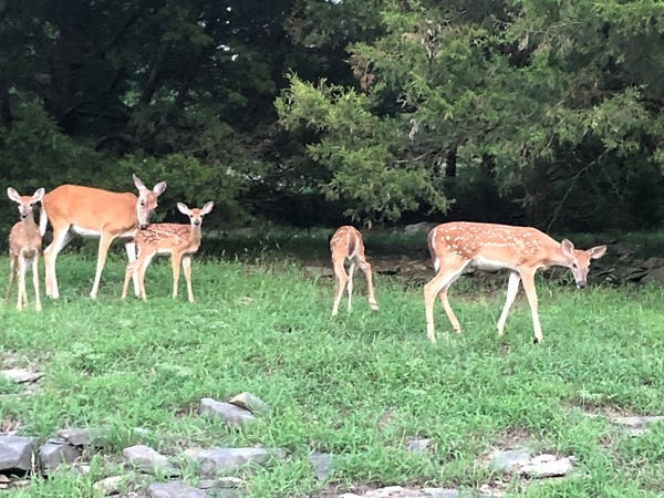 Fawns still showing up. Some getting bigger