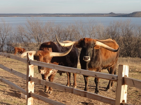 Longhorn cattle enjoying the day at the Dog Iron Ranch in Oologah located in Rogers County