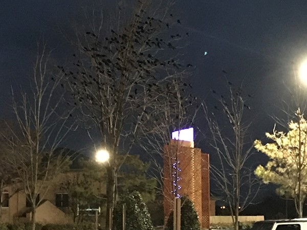 Check out all the Red Wing Black Birds in the tree