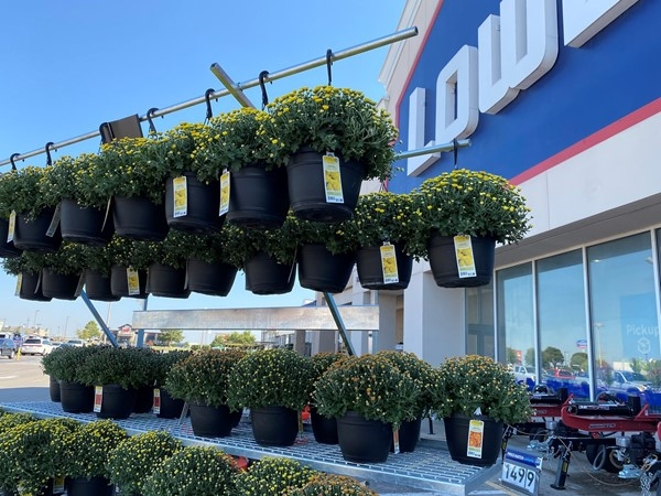Lowe's has mums! Come on fall
