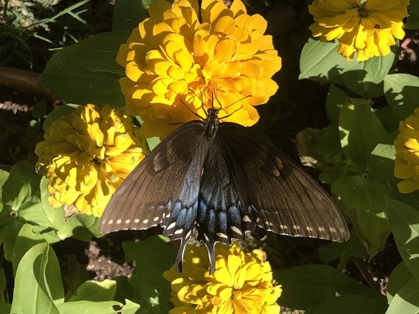Beautiful Black Swallowtail butterfly on a Zinnia flower
