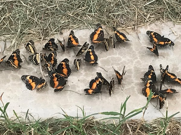 Fall has arrived and butterfly migration has started
