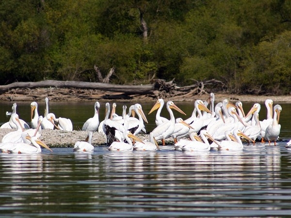 Pelicans resting at Grand Lake during their migration south